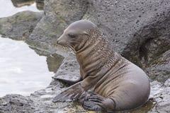 Baby Sea Lion on the Rocks Stock Image