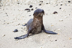 Baby sea lion with sand stuck in his chest Royalty Free Stock Photography