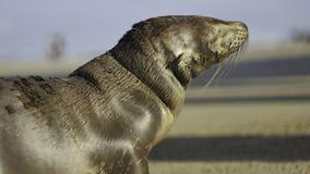 Baby Sea Lion / Seal Royalty Free Stock Photos