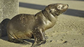 Baby Sea Lion / Seal Royalty Free Stock Images