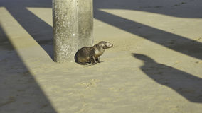 Baby Sea Lion / Seal Royalty Free Stock Image