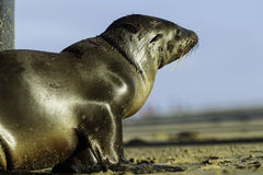 Baby Sea Lion / Seal Royalty Free Stock Photography