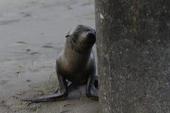 Baby Sea Lion / Seal Stock Photo