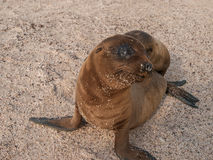 Baby Sea Lion Sitting Up Stock Photo