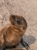 Baby Sea Lion Sitting Up Royalty Free Stock Photography