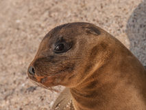 Baby Sea Lion Sitting Up Stock Image