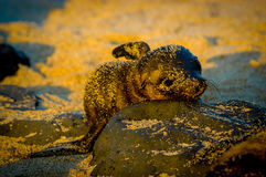 Baby sea lion at sunset in galapagos islands Stock Photo