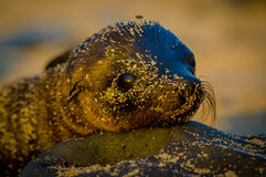 Baby sea lion at sunset in galapagos islands Royalty Free Stock Photos