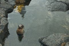 Baby Sea Lion Swimming in Galapagos Islands Royalty Free Stock Photos