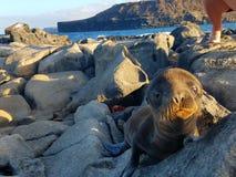 Baby sea lion. Wildlife Galapagos islands sea ocean darwin Royalty Free Stock Photos