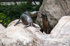 Baby Sea Lions Stock Photos