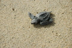 Baby Sea Turle Los Cabos Mexico Stock Photography