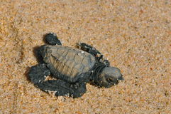 Baby sea turtle. Hatched leather back sea turtle just opened it's eye hatched on a beach in baja california sur. it is a protected species royalty free stock photography