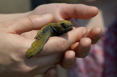Baby Sea Turtle  2. Baby sea turtle in hand just before being released out to sea Stock Photo