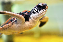 Baby Sea Turtle Royalty Free Stock Photo