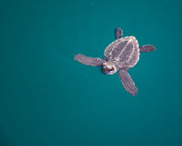 Baby Sea Turtle. A baby sea turtle swimming underwater royalty free stock photography