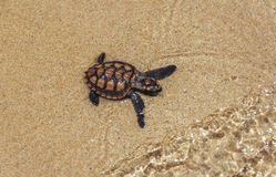 Baby Sea Turtle Stock Photography