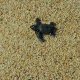 Baby sea turtle Stock Image