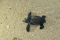 Baby Sea Turtle on the Beach Royalty Free Stock Images
