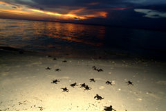 Baby Sea turtle crawling to sea during sunset Royalty Free Stock Photos