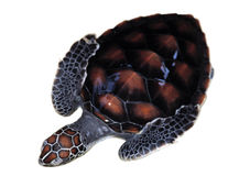 Baby Sea turtle Stock Images