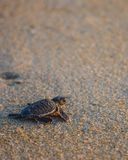 Baby sea turtle makes its way back to the ocean. royalty free stock photos