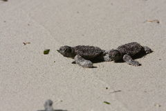 Baby sea turtle Stock Image