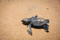 Baby sea turtle struggles to reach the sea at Praia do Forte, Ba stock image