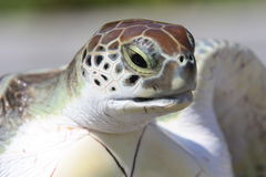 Baby sea turtle taken out of the water water Royalty Free Stock Photography