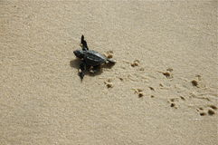 Baby sea turtle on turtle prints. Hatched sea turtle leaving footprints in the wet sand on it's way into the ocean stock photo