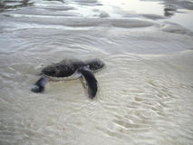 Baby sea turtle in the water Stock Image