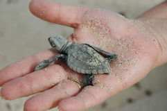 Baby sea turtle in woman's hand. Hatched sea turtle in woman's hand stock photography