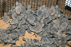 Baby sea turtles Royalty Free Stock Photos