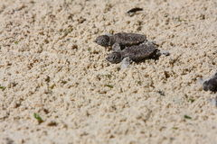 Baby sea turtles Stock Images