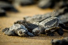 Baby sea turtles struggle for survival after hatching in Mexico royalty free stock photos