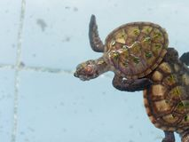 Baby Sea turtles swimming in nursery pond or aquarium in conservation center. Baby Sea turtles swimming and floating in nursery pond or aquarium in conservation Royalty Free Stock Image
