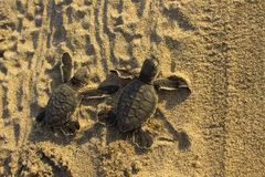Baby Sea Turtles. Two rescued baby sea turtles on the sand at sunset, heading toward the ocean stock photos