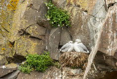 Baby Seagull Stock Photo