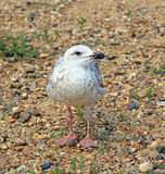 Baby seagull on beach Stock Images