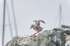 Baby seagull flapping its wings Royalty Free Stock Image