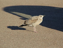 Baby seagull Royalty Free Stock Photography