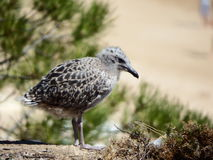 Baby seagull. Waits for mom to bring her food Royalty Free Stock Image