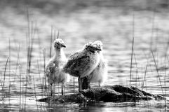 Baby seagulls Royalty Free Stock Photography