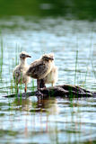 Baby seagulls Stock Photo