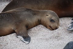 Baby seal royalty free stock photos
