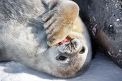 Baby seal. Close to his mom. Antarctica Stock Photography