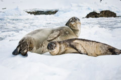 Baby seal. Close to his mom. Antarctica Stock Photos