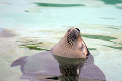 Baby seal Royalty Free Stock Photo