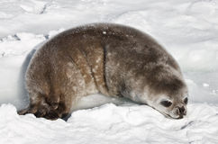 Baby seal. In the Antarctica Royalty Free Stock Photography
