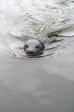 Baby Seal. Newborn seal swimming in the ocean Royalty Free Stock Image